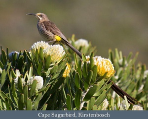 Western South Africa Endemics