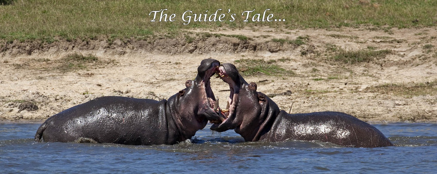 Hippo fight, Kruger National Park, Safari Blog