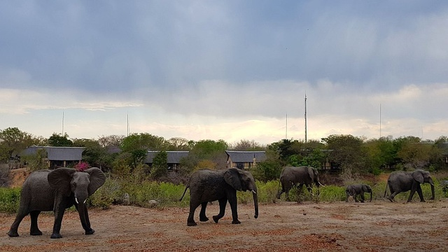 Elephant herd in front of Elephant Plains Game Lodge.