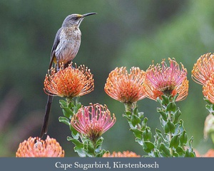 Western Cape Highlights: Birding the tip of Africa