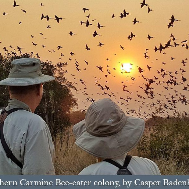 Southern Carmine Bee-eater colony.