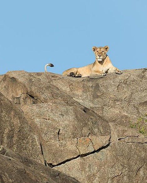 Lioness on a rock, Serengeti