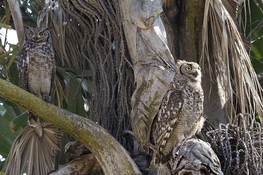 Spotted Eagle Owls in the Lawson's office garden