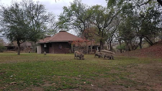 Warthogs at Idube.