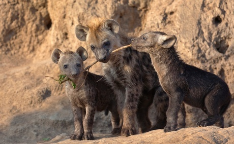 Spotted Hyena pups, Sabi Sand Game Reserve