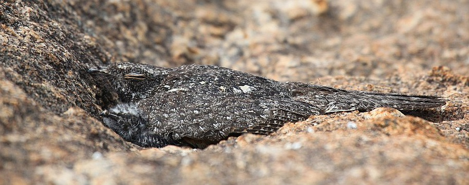 Freckled Nightjar and chick