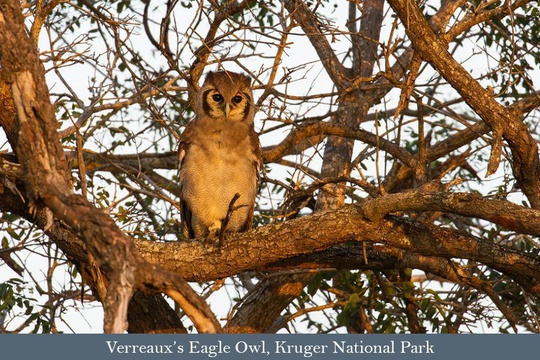 Verreaux's Eagle Owl, Kruger National Park